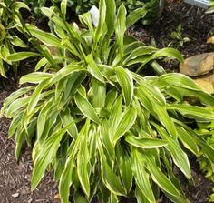Long Fellow Hosta - Shade Perennial Medium Hosta Plant