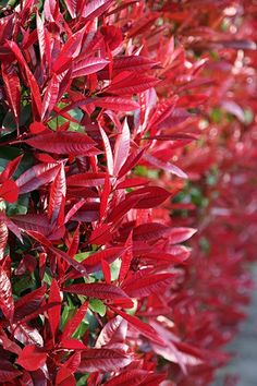Photinia × fraseri 'Red Robin' -   Fabulous evergreen with red young foliage