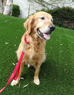 This is David - 8 yrs. he is neutered, current on vaccinations, potty trained, has good house manners, rides well in a car, walks well on leash, good with dogs. Not kid/cat tested. http://www.grcglarescue.org/RP_AdoptMe.asp?aid=2163 Golden Retriever Club of Greater Los Angeles Rescue, CA. -