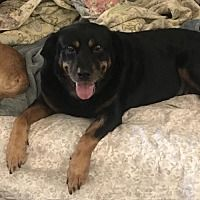 Available Pets At All Texas Dachshund Rescue In Pearland Texas Dachshund Rescue Dachshund Rottweiler