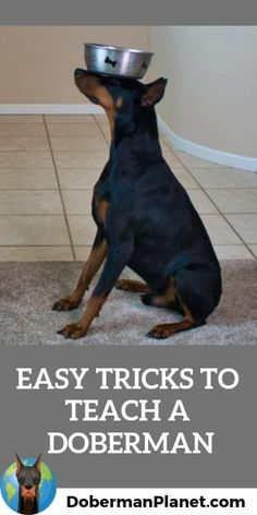 Here are 13 great Doberman trick ideas with step-by-step photos along with tips on how. The post 13 Easy Tricks to Teach Your Doberman appeared first on Ross Steele Dog School. Blue Doberman, Doberman Love, Doberman Funny, Doberman Training, Dog Training, Training Tips, Doberman Pinscher Puppy, Doberman Puppies, Corgi Puppies