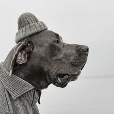 dog in knit cap All Dogs, I Love Dogs, Best Dogs, Animals And Pets, Funny Animals, Animal Hats, Dog Dresses, Animal Photography, Funny Pictures