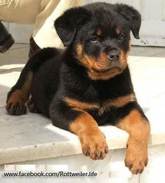 TEDDY BEAR Rottie Puppies - Funny Husky Meme - Funny Husky Quote - See our site for more relevant information on rottweiler puppies. It is an excellent area to learn more. The post TEDDY BEAR Rottie Puppies appeared first on Gag Dad. Cute Puppies, Cute Dogs, Dogs And Puppies, Doggies, Doggie Beds, Beagle Puppies, Collie Puppies, Awesome Dogs, Animals Beautiful