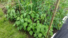 Peas and climbing beans are come on, will have a harvest of peas soon. #allotment #gardening #gardenchat