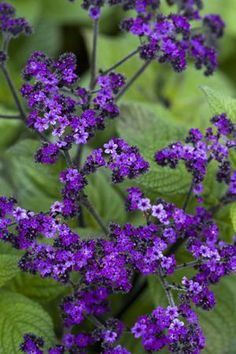 Your Flower Plants & Seedlings from Sarah Raven Heliotrope 'Marine' - Plant by doors or windows so the lovely vanilla scent can drift inside.Heliotrope 'Marine' - Plant by doors or windows so the lovely vanilla scent can drift inside. Love Garden, Summer Garden, Dream Garden, Herb Garden, Fruit Garden, Purple Flowers, Wild Flowers, Beautiful Flowers, Marine Plants