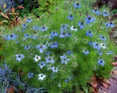 LOVE IN A MIST - Annual. Miss Jekyll Blue (Fennel Flower) Nigella Damascena. 18 to 24 inches high. Self seeding, collect seed pods if you don't want this plant elsewhere in your garden. Great filler for summer bouquets.
