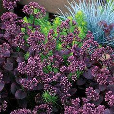 SunSparkler™ Cherry Tart Sedum Stonecrop Plant