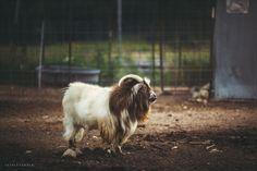 Beautiful Old Goat by Veerle van den Bold Keeping Goats, Travel Photos, Van, Horses, Pets, Animals, Beautiful, Life, Space