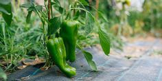 🌶 Πιπεριές πράσινες, κόκκινες, κίτρινες, καυτερές, φλάσκες και ψιλές... όποια κι αν είναι η αγαπημένη μας, τώρα μπορούμε να την καλλιεργήσουμε στον κήπο και σε γλάστρα στο μπαλκόνι ακολουθώντας μερικές απλές συμβουλές. Stuffed Peppers, Vegetables, Garden, Plants, Grapefruit, Garten, Stuffed Pepper, Lawn And Garden, Vegetable Recipes