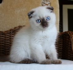 I want this cat!!! Scottish Fold chocolate point More