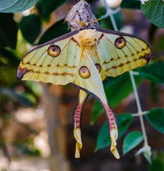 20 moth species more beautiful than butterflies Butterflies get all the glory in the bug world. But moths are far from being the ugly step-sisters. Check out these gorgeous winged moths and their flamboyant coloration. Giant Leopard Moth, Io Moth, Rosy Maple Moth, Moth Species, Cecropia Moth, Emperor Moth, Most Beautiful Butterfly, Atlas Moth, Nature