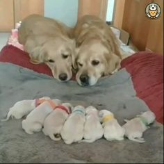 Golden puppies – very hot On Cute Little Animals, Cute Funny Animals, Cute Cats, Adorable Dogs, Pretty Cats, Cute Animal Videos, Funny Animal Pictures, Funny Dog Videos, Funny Dogs