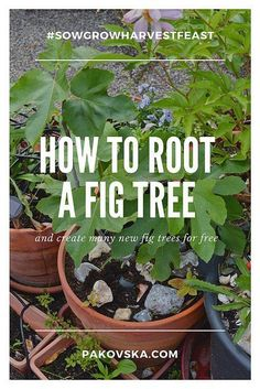 How to root a fig tree cutting and grow fig trees for free – Gardening for beginners and gardening ideas tips kids Fruit Plants, Fruit Garden, Garden Trees, Herbs Garden, Backyard Trees, Fig Fruit Tree, Fig Tree Plant, Growing Fig Trees, Growing Plants