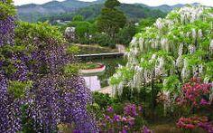 virágzó fa akácvirág kertek és parkok tavasz