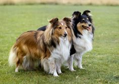 Shetland Sheepdog, the Sheltie is known for being funny, loyal and undeniably cute. His athleticism and desire to show off often make him a natural at trick training, but be mindful of the fact that this breed is also known for barking.