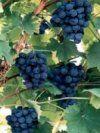 http://www.silktree.co.uk/grapevines.html