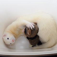 heee, this looks like my sisters ferret, Tamaki, except she has pink eyes. So cute!