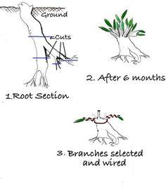 créer un bonsai à partir de la racine... à essayer !