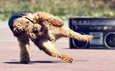 Breakdancing Airedale