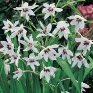 acidanthera - pretty summer flowering bulb, med height