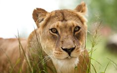 free desktop backgrounds for lion Funny Animal Videos, Funny Animal Pictures, Funny Images, Funny Animals, Animal Wallpaper, Lion Wallpaper, Cat Breeds, Big Cats, Funny Animal Humor