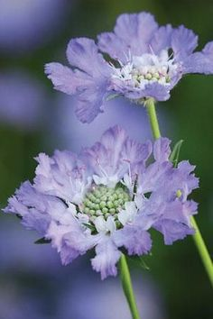 "Scabiosa.   (""Scabiosa caucasia perfecta Dipsacaceae."")     Google search:  ""Scabiosa is a genus in the honeysuckle family of flowering plants. Many of the species in this genus have common names that include the word scabious; however some plants commonly known as scabious are.... Wikipedia."""