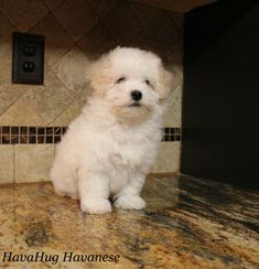 The cutest havanese puppies. Havanese Puppies For Sale, Havanese Dogs, Cute Puppies, Poodle, Photo Galleries, Gallery, Animals, Animales, Roof Rack