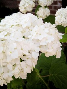 I <3 white Annabelle hydrangeas.  Planted 7 of them last fall.  Can't wait to see how they come up!
