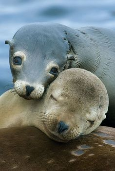 Baby sea lion love! What cute little cuddlers!
