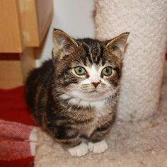 Mondays Amiright Gimli AdoptDontShop CatsOfInstagram - Kitten born with dwarfism is half the cat but twice as cute