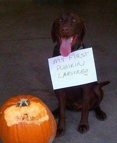 Labrador Retrievers are better at having fun than carving pumpkins