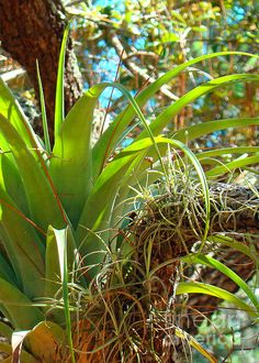 Air Plants 1 photograph by Nancy L. Marshall - Air Plants 1 Fine Art Prints and Posters for Sale #FineArtAmerica  Taken at Port St. Lucie Botanical Gardens, Port St. Lucie, Florida.