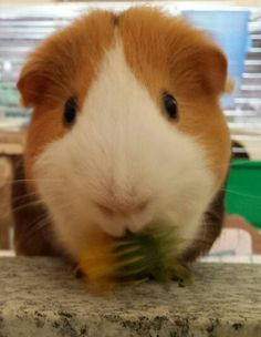 Pooky This Little Piggy, Guinea Pigs, Rabbit, Animals, Bunny, Rabbits, Animales, Animaux, Bunnies