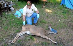 Oregon Central Point (OSP) Fish and Wildlife Troopers and Oregon Department of Fish and Wildlife (ODFW) were recently called to investigate a disturbing case. A live deer was shot with an arrow in Shady Cove, Oregon, after which the animal was left wandering in the area.