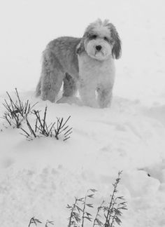Sheepadoodle in the Wild