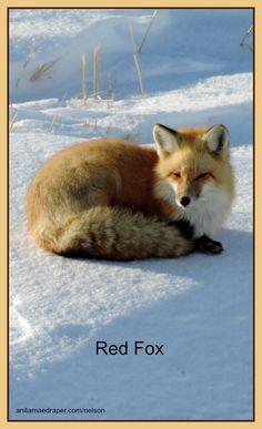 Red Fox, Southeastern Saskatchewan, Feb 2018. Credit: Nelson Draper Canadian Wildlife, Red Fox, Blog, Photos, Animals, Image, Pictures, Animales, Animaux