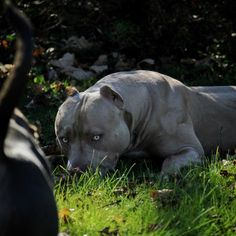 Will you promise to protect my bay bay Girls? No doubt ever? Amstaff Terrier, Pitbull Terrier, Big Dogs, Cute Dogs, Dogs And Puppies, Beautiful Dogs, Animals Beautiful, Cute Animals, Dog Pounds