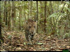 Jaguar, Rare Cats, Wild Creatures, Amazon Rainforest, Rare Animals, African Animals, Endangered Species, Big Cats, Animal Kingdom