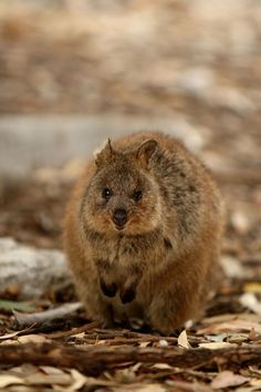 this is a quokka that lives on outlying islands of Australia...it is about the size of a cat and unfortunately not fearful enough of predators. It is a marsupial that is most closely related to kangaroos. They can climb trees but they most often hop around on land and in tunnels they dig to stay cool. They are vegetarians that get most of their moisture needs from the plants they eat (like the Koala).