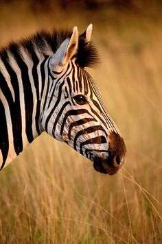 AMAZING Photographer: James RD Scott - Zebra Hluhluwe Imfolozi Park, South Africa