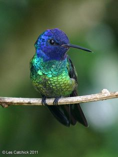 Hummingbird (Golden-tailed sapphire - male) | Flickr - Photo Sharing!