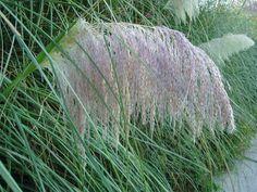 Hierba de la Pampa: Cortaderia selloana