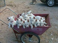 these White German Shepherd puppies! Cute Puppies, Cute Dogs, Dogs And Puppies, Doggies, Animals And Pets, Baby Animals, Cute Animals, Beautiful Dogs, Animals Beautiful
