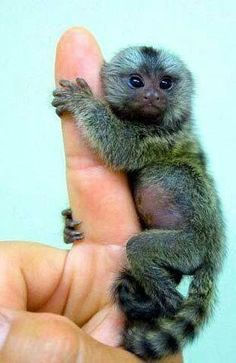 Marmoset(Type of Monkey)one of the smallest kind in the world.Nickname *Finger Monkey*