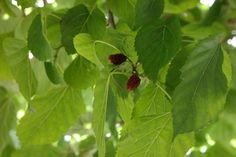 Morus (alba)= moerbei /moerbezie, hierop leeft in China de zijderups. Boom die breed groeit: 8 -10 m. hoog. Schijnvruchten zijn framboosachtig -lichtgeel of lichtpurper- en eetbaar. M.a.'Macrophylla' vaak als dakboom in gebruik.