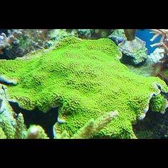 Montipora australiensis (green)