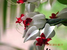 Bleeding Hearts... Early Morning Bloom