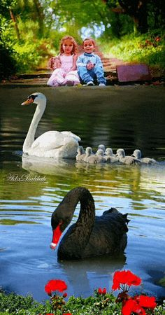 Swan image photo montage 4 images blend to create a single art image Beautiful Swan, Beautiful Birds, Animals Beautiful, Cute Baby Animals, Animals And Pets, Funny Animals, Beautiful Photos Of Nature, Beautiful Nature Wallpaper, Swan Pictures