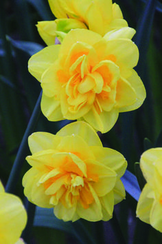 Narcissus - Golden Ball