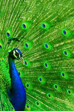 animal wallpaper peacock